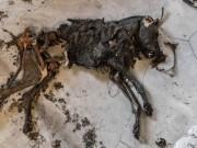 Město Pripjať - mumie psa