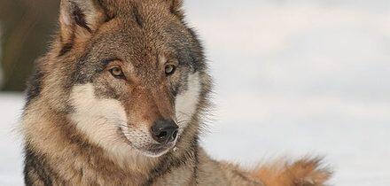 Vlci z černobylské zóny terorizují běloruské obce